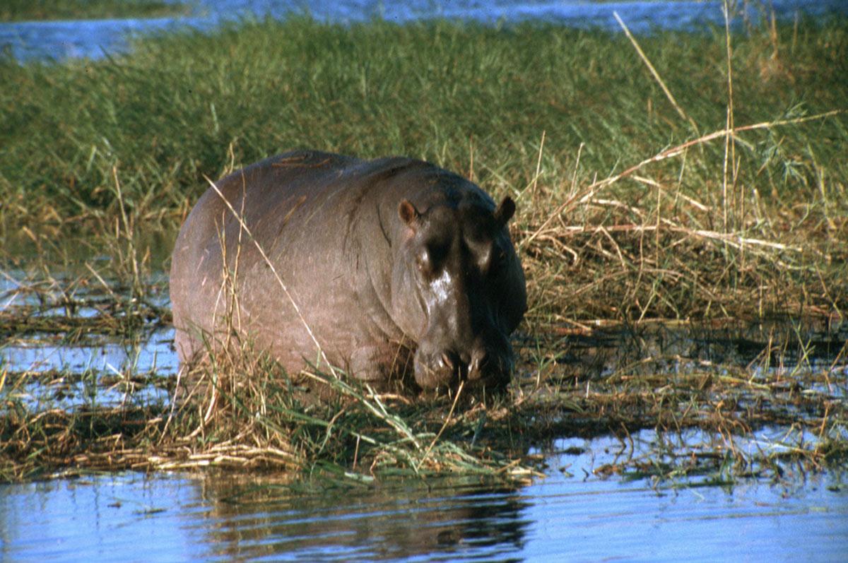 Um an land zu grasen flusspferde koennen sehr gefaehrlich sein durch